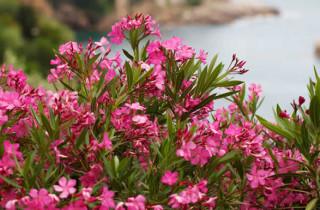 Oleander Plant - GP Gardens - Garden Maintenance Costa Blanca