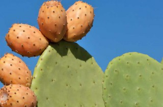Prickley Pear Header